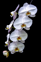 Quartet of Orchids