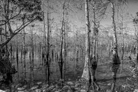 Big Cypress Trees