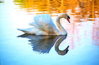 Swan Lake - Finalist 2016 Flamingo Gardens Photo Contest