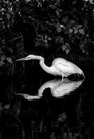 White Heron Reflecting